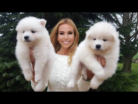 SAMOYED PUPPIES & BEST SAMOYED DOG BREED GUIDE