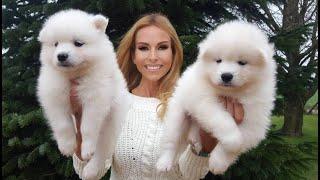 SAMOYED PUPPIES & BEST SAMOYED DOG BREED GUIDE