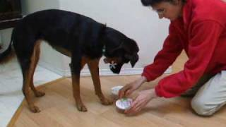 Mind Games For Dogs: Shell Scent Game Dog Indicates Correct Container Where Scent Is