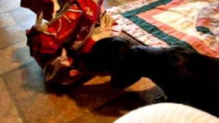 Dachshund Puppies Now Scared Of The Paper Dog Food Bag