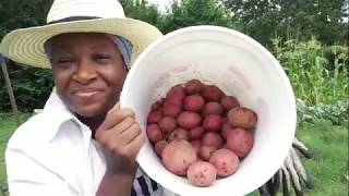 Harvesting Potatoes In Spite Of The Grass