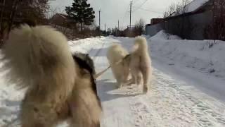 упряжка собак