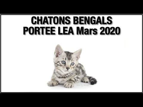 Votre Chaton Bengal De La Portée De Léa (Mars 2020) Par Bengal Laurentides