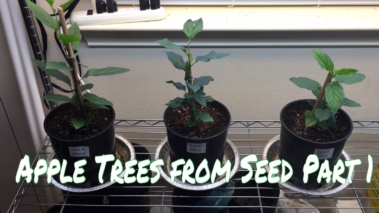 how to grow an apple tree from seed part 1 youtube