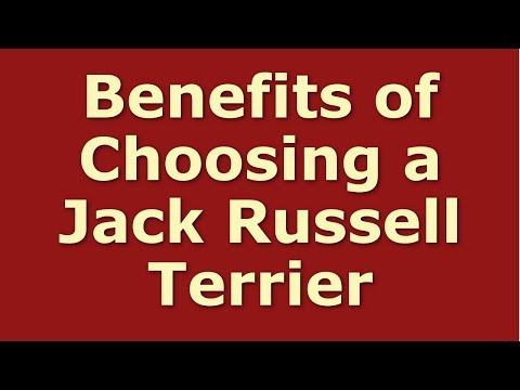 Benefits of Choosing a Jack Russell Terrier as Your Pet Dog