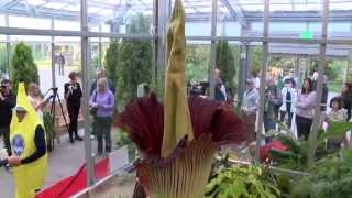 Denver Botanic Gardens Corpse Flower bloom beckons early morning visitors, long waits