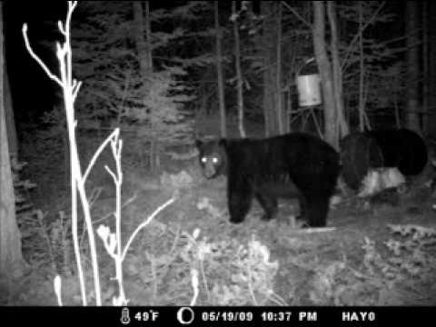 2009 Spring Black Bear In New Brunswick, Canada