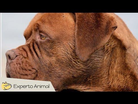 El perro Dogo de Burdeos