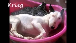 Bull Terrier Rescue Italia 2014