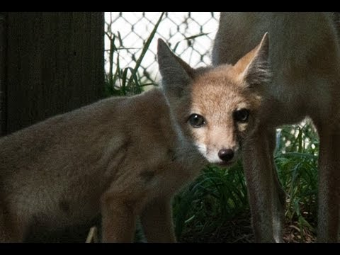 'New Kits on the Block' - Swift Fox Kits That Is   (Turn up the volume)