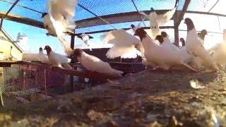 Иранские красноголовые голуби