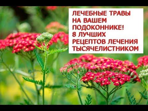 Лечебные травы на Вашем подоконнике  8 лучших рецептов лечения тысячелистником