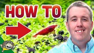 How To Breed Cherry Shrimp