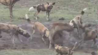 !!!!!!!!  Decenas de PERROS SALVAJES atacan a una HIENA  ¡¡¡¡¡¡¡¡¡¡  INCREIBLES IMAGENES thumbnail