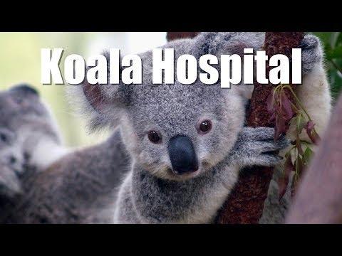 🇦🇺 Visita al hospital de KOALAS en Australia 🐨