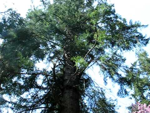 Crown Estates - Tall Tree Trail - Tallest Tree in England