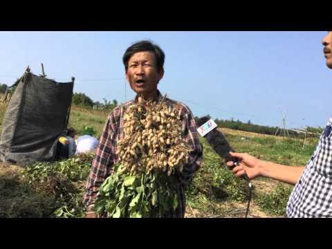 BIO CLEAN Việt Phát- Cây đậu lạc thu hoạch Xã Điện Nam Trung Quảng Nam