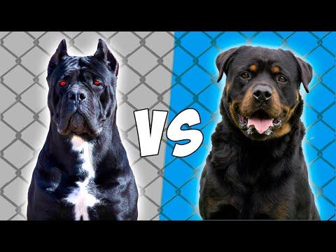 Mastin Italiano vs Rottweiler en ESPAÑOL – Cane Corso vs Rottweiler