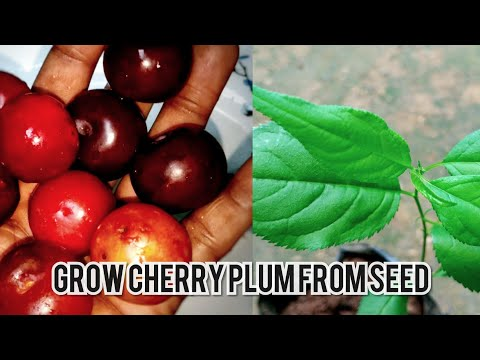how to grow cherry plum tree from seed .| Grow cherry plum from pit .