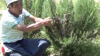 ローズマリートスカナブルーの花柄摘みの様子を紹介します。 5月中旬に...