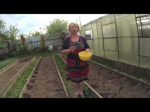 ФАСОЛЬ КРАСНАЯ ШАПОЧКА спасает картофель от жука.