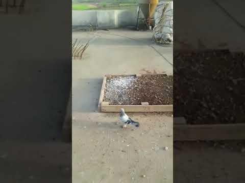 İyi Oyun Kuşu Havada Belli Olur - 2 ( Iyi Seyirler ) Mardin Taklacı