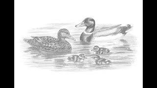 Special Drawing: Mallard Duck Family!