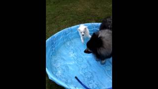Keeshond Dog Vs American Eskimo Puppy