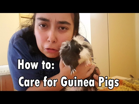 How to: Care for Guinea Pigs