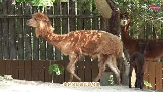 臺北市立動物園的羊駝寶寶趕在中秋連假(9月21日星期五)之前報到,母女...