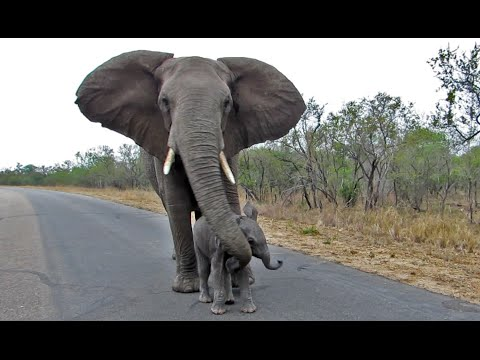 Mother Elephant Protects Calf From Tourists