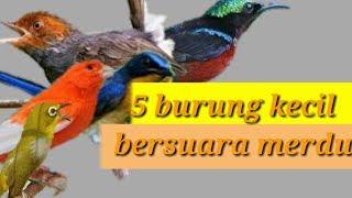 5 Burung kecil bersuara merdu untuk burung peliharaan