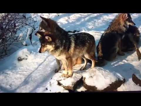 Join some frisky Mexican gray wolves us Wolf  Center Live cam