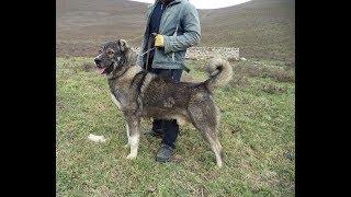 МОЙ ПИТОМНИК - ОБЗОР ПИТОМНИКА!!!Родословная собак!!!