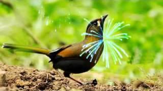 Nightingale Serenade