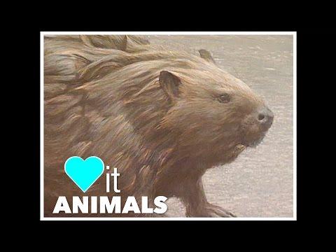 Animal Art with Robert Bateman