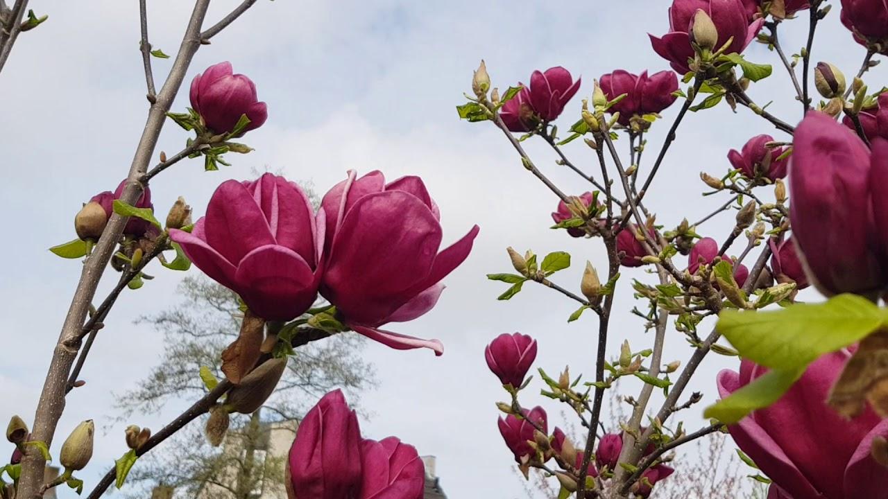 Magnolia Genie In Full Flowers In The Garden Of Reinier Youtube