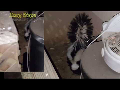 Sheru Alaskan Malamute Fighting Skunk   Skunk Spray can make your Dog Blind if it's not treated