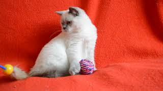Купить шотландского котенка. Котята для Вас: Плюшевые шотландские котята  окраса блю-поинт.