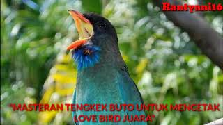 #lovebird #masteranlovebird Suara Tengkek Buto Gacor Suara Rapat Durasi Panjang Satu Jam Full