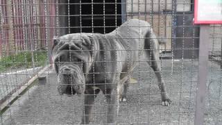 イタリア原産の犬でナポリタン・マスティフという種類です。 世界三大恐...