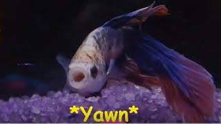 Sleepy Betta Fish - Watch what he does next