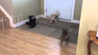 Tucker Afraid Of A  Cairn Terrier Puppy