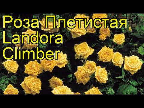 Роза плетистая Ландора Климбер. Краткий обзор, описание характеристик, где купить саженцы