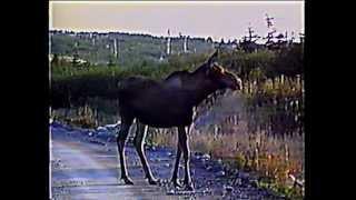 Newfoundland Moose (Cold Brook)