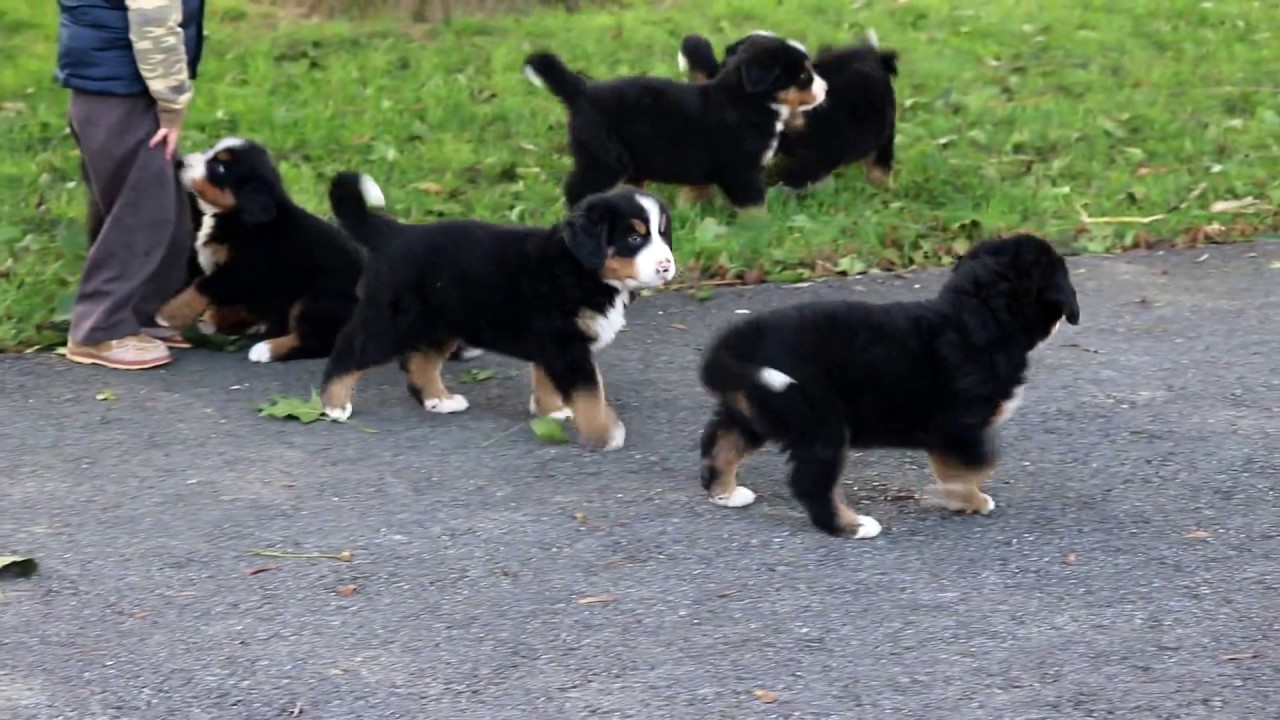 Bubba Bernese Mountain Dog Puppy For Sale Keystone Puppies