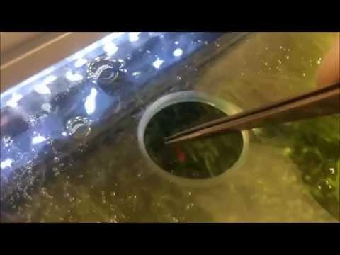 Kampffisch Fütterung