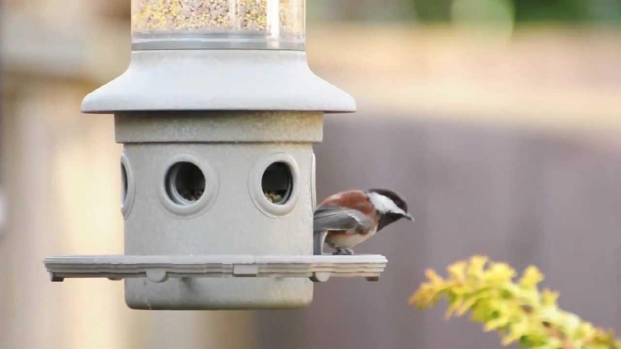 backyard bird watching chestnut backed chickadee youtube