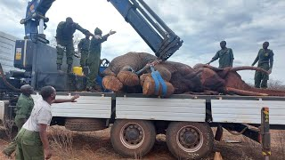 Treatment and Translocation of Bull Elephant to Mitigate Human-Wildlife Conflict | Sheldrick Trust