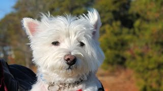 Oliver, An Adorable 4-1/2-year-old Westie Adopted In Manahawkin, Nj